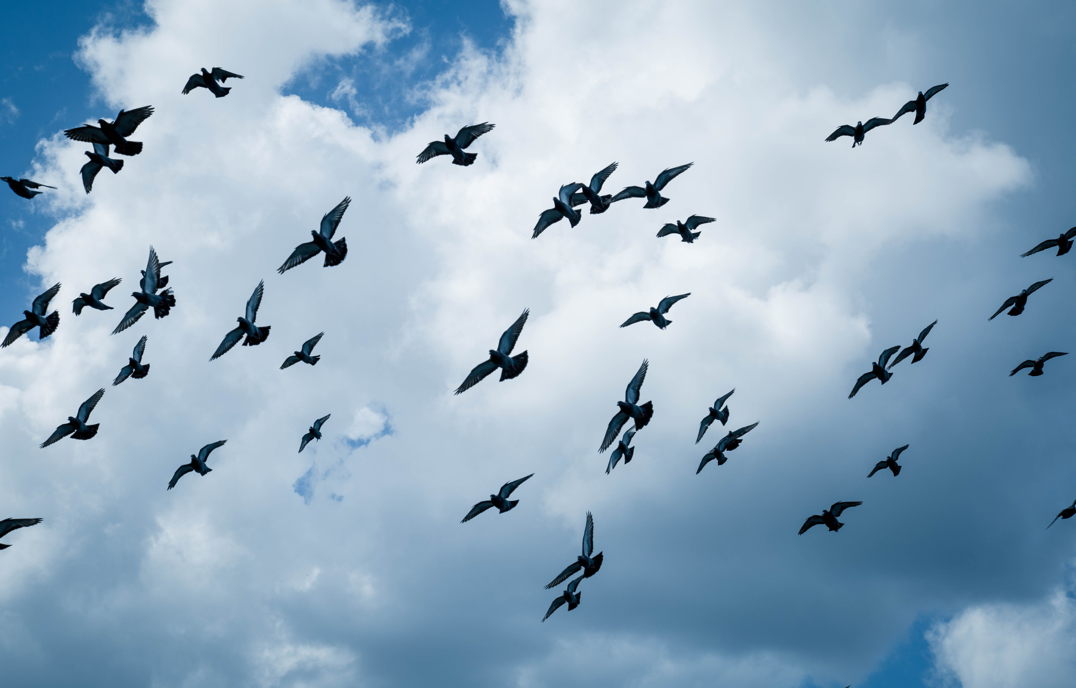 Pigeons in Flight_.jpg